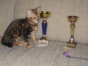 Бенгальские   котята..