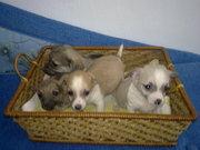 Продам щенков карликового пинчера