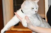 Шиншилловый кот