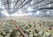Продаємо курчат бройлерів,  КОББ,  РОСС,  Польща,  щеплені