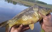 Продажа живой рыбы оптом: карп,  щука,  толстолоб,  карась.