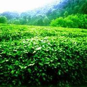 Китайский чай с провинции Анхой